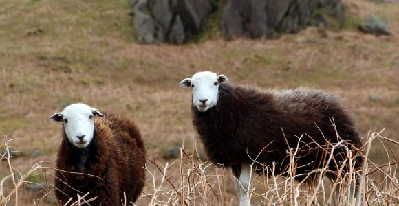 cumbrian sheep from the lake district